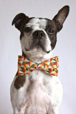 {for the dogs} geometric bow tie. adorbs!: Cute Puppies, Little Gentleman, Bowties, Boston Terriers, Dog Bow Ties, Dogs What S, Cute Dogs, Dog Bows