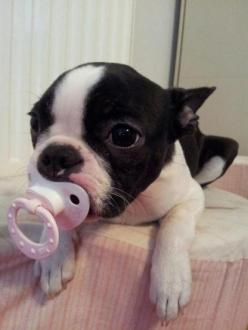 For you Glenn and Ian! Baby Boston Terrier!   ...........click here to find out more     http://googydog.com: Pacifier, Bostonterriers, Pet, Baby Boston Terriers, Boston S, Boston Terrier Puppies, Animal