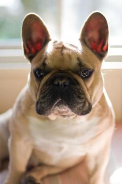 French Bulldog - I would name him Bear and he would be my little bear.: French Bulldogs ️, Bulldog Click, Bulldog Handsome, Frenchie S, Cute French Bulldog, Bulldog Gimme, Beautiful Frenchie