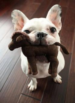 French Bulldog with a toy in its mouth.: Doggie, French Bulldogs, Horse, Cute Animals, Puppy, Frenchie, Adorable Animal