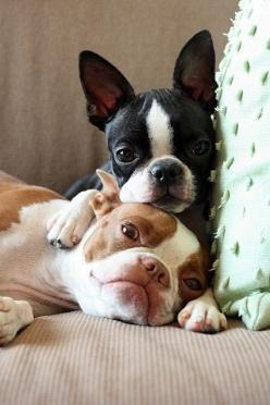 French bulldogs: Doggie, French Bulldogs, Puppy Love, Bostonterriers, So Cute, Pet, Frenchbulldog, Boston S, Boston Terriers