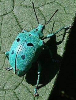 Google Image Result for http://www.whatsthatbug.com/wp-content/uploads//2009/02/blue_weevil_brazil_brutamonte_2.jpg: Bugs Beetle, Beetles Bugs, Insects Arachnids, Aqua Beetle, Bugs Insects