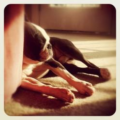 Gorgeous Boston Terrier sneaking in a nap <3 looks like my boy Cooper: Boston Terror, Boston Terriors, Gorgeous Boston, Boston S, Bostons Terrier, Boston Terriers, Heart Bostons, Beautiful Bostons, Awww Sunshine