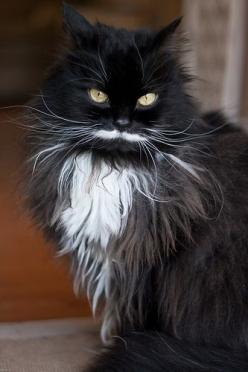 Gorgeous....: Cats Cats, Mustache Cat, Kitty Cat, Beautiful Cats, Black Cats, Kitty Kitty, Cat S, Cats Kittens