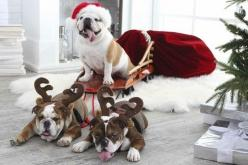 Great Christmas card.  My three boxers would look so cute.: Cute Bulldogs, English Bulldogs In Costumes, Christmas Card, Christmas Dog, Bulldogs Cutest, Christmas Photos With Dog, Holiday Bulldogs, Photography Bulldogs