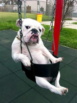 how u doin'?: Like A Boss, Pet, English Bulldogs, Cute Animals, Funny Animal, Funnie, Bull Dogs