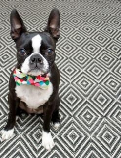 http://3.bp.blogspot.com/-IcI9w22icGk/TaNWFBzT2VI/AAAAAAAAGZI/jrP8Xe4l58E/s1600/7yten.jpg: French Bulldogs, Boston Terrier Love, Bowtie Boston, Terrier Bostonterrier, Boston Terriers, Boston Terrier Bow Tie, Cute Dogs, Animal