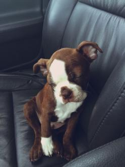 I can sleep sitting up!: Animals Dogs Pets, Adorable Doggies, Puppy Dogs, Adorable Animals, Baby Boston, Adorable Pets, Puppy Asleep