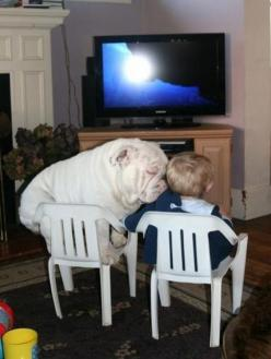 I like to be near my human: Doggie, Best Friends, Puppy Love, English Bulldogs, Pet, Funny Animal, Kid, Bull Dogs
