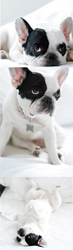 I think i would love to have a dog like this someday....sooo cute!: Classic Frenchie, French Bulldogs, Pied Frenchie, Frenchie S, Adorable Frenchbulldog, Cute French Bulldog, French Bull Dogs, Future Frenchie, Sweet Frenchie