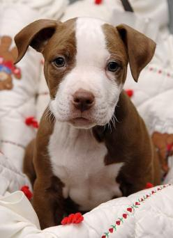 I want a red one next!... Maybe in a few years: Doggie, Pitt Bulls, Pit Puppies, Dogs Puppies, Pitbull Puppy, Pit Bull Puppies, Pittbull