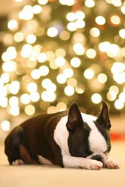 I want this dog so much. he's so pretty    Howie the Boston Terrier Puppy - Christmas Tree Bokeh by kevinandamanda, via Flickr: Camera Setting, Dog Christmas Picture, Boston Terriers, Christmas Card, Photo Idea, Christmas Trees, Christmas Photos With