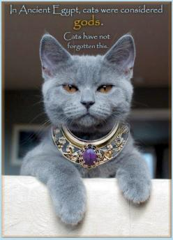 In ancient Egypt, cats were considered gods. Cats have not forgotten this.: Beautiful Cat, Grey Cat, Russian Blue, Kitty Cat, Gray Cat, Blue Cat, Considered God, Crazy Cat