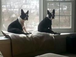 Its a Boston thing...: Dogs Bostons, Boston Lovies, Boston Babies, Bostonterriers, Bostonterrierlove, Boston Funny, Bostons Rule, Baby Bostons