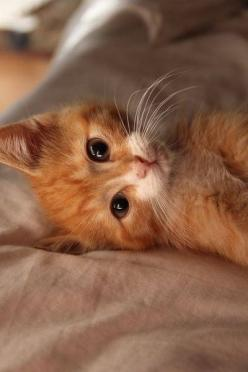 Just thinking about kitty things...: Kitty Cats, Ginger Kitten, Sweet, Orange Cats, Kitty Kitty, Cat S, Ginger Cats, Cats Kittens
