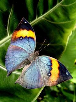 Kallima inachus Leaf wing butterfly.: Beautiful Butterflies, Nates Butterfly, Butterflies Dragonflies, Butterfly Kallima, Birds Butterflies, Butterfly Moth