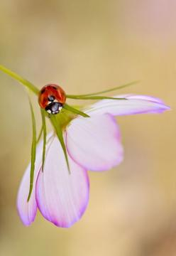 Lady Love, Mandy Disher: Ladybug Photo, Ladybug Mandy, Butterflies Ladybugs, Ladybugs Pictures, Lady Bugs, Animals Ladybugs, Ladybug Fly