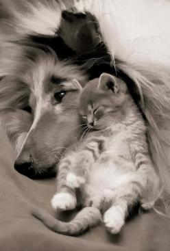 Lassie and Laddie... only the compassionate and sincere may appreciate the love that these two warm hearts feel together in peace.: Kitten, Best Friends, Sweet, Dogs And Cats, So Cute, Dog Cat, Cats And Dogs, Adorable Animal