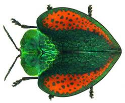 LEAF BEETLES - Peru; Beetles in the family Chrysomelidae are commonly known as leaf beetles. This is a family of over 35,000 species in more than 2,500 genera, one of the largest and most commonly-encountered of all beetle families.: Bugs Bees Butterflies