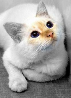 Looking at you....: Cats Cats, Kitty Cat, Beautiful Cats, Pretty Cat, Blue Eyes, Cat Faces, Cats Kittens, Cat Lady, White Cat