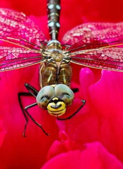 ....looks like a little smile ;)  of course, it also kinda looks like a large spider coming down from ceiling fan . . .: Butterflies Dragonflies, Dragonfly Smile, Animal Photography, Smiley Dragonfly, Happy Dragonfly, Dragonfly Smiling, Smiling Dragonfly,