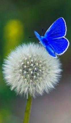 lovely butterfly resting on a delicate dandelion: Beautiful Butterflies, Butterflies Dragonflies, Blue Butterfly, Flutterby, Butterfly S