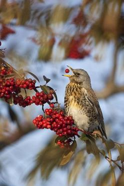 <3 Despite waiting for a shot like this, you have to know the photographer's heart nearly skipped a beat when he actually got this. Wow!: Winter Berries, Red Berries, Red Leather Couch, Animals Birds, Beautiful Birds