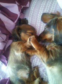 <3 Mom and Baby, long-haired Doxies, holding paws while they sleep<3: High Five, Sweet, Puppy Love, Dachshund Puppies, Doxie S, Baby Animal, Adorable Animal