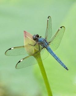 Male Spangled Skimmer - Photograph at BetterPhoto.com: Butterflies Dragonflies, Dragonflies Butterflies, Dragonfly S, Animal, Eye