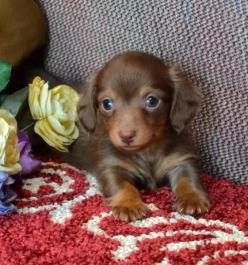 Mini Dachshund Puppy: Daschund, Mini Dachshund, Doxi, Dachshund Puppies For Sale, Dachshunds Puppy, Dog, Animal