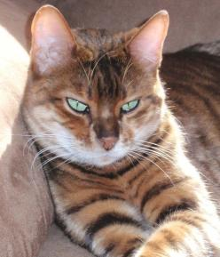 my new favorite cat breed - The Toyger - (mini-tigers!): Wild Cat, Mini Tigers, Breeds Of Cats, Beautiful Cats, Tigers Beautiful, Pretty Cat, Toyger Cat, Exotic Cat
