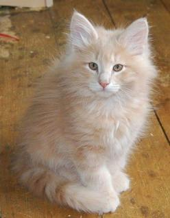Norwegian Forest: Kitty Cats, Free Pattern, Beautiful Cats, Gorgeous Cats, Cute Cats, Cat Austin, Cats I Ve, Norwegian Forest Cats