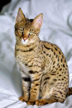Ocicat: This breed resembles a wild cat but behaviorally it is not at all savage. This is a breed of Siamese and Abyssinian. Their temperament is comparable to that of the high spirited dogs. They are faithful, sociable and easy to train. There are as man