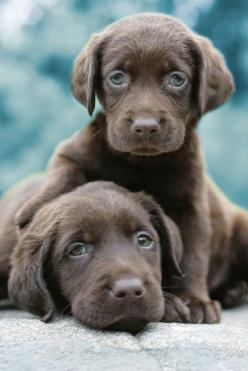 Oh my goodness, some of the cutest puppies, I am so in love! I want them all!! 50 Cute Puppies: Doggie, Labrador Retriever, Puppy Love, Chocolate Labs, Chocolate Lab Puppies, Lab Pups, Chocolate Labrador, Eye