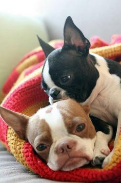 OMG . . . my NEXT baby!  (I wish).  LOVE the caramel & white Bostons (I think they call it red actually) SUPER CUTE baby Boston terriers.: Friends Boston, French Bulldogs, Bostonterriers, Frenchie Friends, Baby Boston Terriers, Boston S, Puppy Snuggle