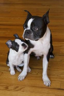 Once you've had one, you will want another one...and another, and another, and another. But two is probably the perfect number :): Dog Photos, Boston Babies, Bostonterriers, Terrier Brothers, Boston S, Cute Animals, Boston Terriers, Sweet Baby Dogs