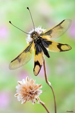 Owlflies are dragonfly-like insects with large bulging eyes and strongly knobbed antennae. They are neuropterans in the family Ascalaphidae; they are only distantly related to the true flies, and even more distant from the dragonflies and damselflies. The