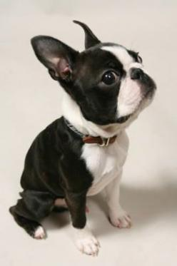pet-style.net/model/dog/38/d-622.jpg: Boston Puppy, Cutie Pants, Boston Babies, Boston S, Baby Faces, Boston Terriers, Boston Terrier Puppies, Bostons Dogs