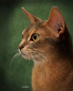 Pictures of Abyssinian Cat Breed: Abyssinians Beauty, Abyssinian Tan, Cats Abyssinian, Abyssian Cats, 100 Cats, Adorable Abyssinians, Abyssinian Cats, Abyssinian Nala