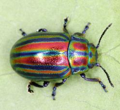 Rainbow Leaf Beetle: Beetles Bugs, Beetles Google, Beetles Insect, Beautiful Bugs, Leaf Beetle, Beetle Chrysolina, Chrysolina Cerealis, Bugs Insects