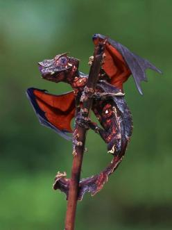 Satanic Leaf-tailed Gecko --looks like a dragon. I'm kinda disappointed that the wings are photoshopped.: Leaf Tailed, Gecko It S, Real Life, Baby Dragon, Satanic Leaf, Gecko Dragon, Leaftailed, Life Dragon