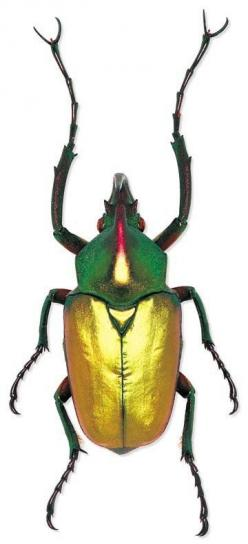 Say it with me: Theodosia perakensis. Ya.. screw that. It's a scarab beetle.: Beautiful Beetles, Beetles Bugs, Insects Spiders, Beetles Insect, Beetle Theodosia, Insects Bugs, Nature S Jewels, Beatles Bugs Insects
