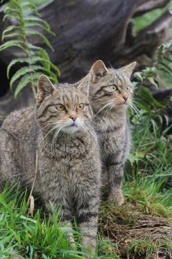 Scottish Wild Cats - even though there are wildcats across Europe and Asia, there are only about 100 left in Scotland.: Cat Felis, Big Cats, Cats Wild, Cats Scottish, Cats Felis, Scottish Wildcats, Wild Cats, Cats Begging, Cats Big