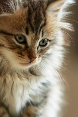 She Is Beautiful. - Click image to find more animals Pinterest pins: Kitty Cat, Beautiful Cats, Maine Coon, Pretty Cat, Kitty Kitty, Pretty Kitty, Cat S, Cats Kittens