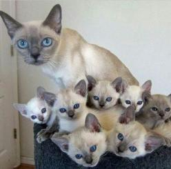 Sign up for our free news letter and find out what you need to know to protect your pets. http://gjconstructs.wix.com/hugs-pet-home-care#!subscribe/c76j: Kitty Cats, Siamese Cats, Siamese Kittens, Blue Eyes, Kitty Kitty, Cat S, Momma Kittens, Cats Kittens