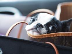 Someday I will have my Mathias puppy. Yes, he shall be named Mathias. |  50 Wicked Adorable Pictures Of Boston Terriers: Doggie, Animals, Dogs, Bag, Puppy, Boston Terriers