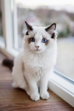 * * SPECK INVENTED THE FIRST EYE-TEST FOR CATS, BUT COULDN'T FIND ANYONE TO MANUFACTURE TINY SPECTACLES.: Cats Cats, Kitty Cats, Beautiful Cats, Pretty Cat, Blue Eyes, Pretty Kitty, Cats Kittens, White Cat, Cat Lady