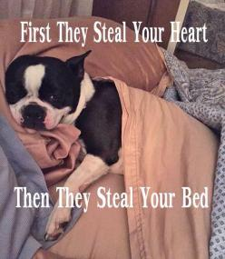 That's why I am so happy my Boston terrier is so small. She isn't big enough to be a bed hog!: Boston Terrier S, Fav Animals Bostons, 3/4 Beds, Boston Billy, Boston Terrier Funny, Boston Boston, Bostonterriers Animals Cuties, Boston Terriers, Bed