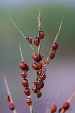That's wild. Ladybugs staff meeting.: Ladybugs Insects, Ladybugs Ladybirds, Ladybirds Ladybugs, Butterflies Ladybugs, Lady Bugs, Ladybug Convention, Animal