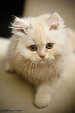 That little kitten is so cute look at its little eyes and fur!: Cats Meow, Cottage Cat, Baby Cat, White Cat